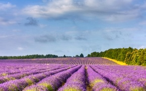 Картинка поле, деревья, Франция, лаванда, Provence