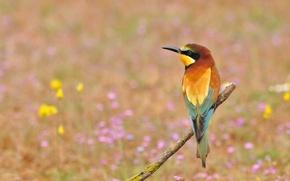 Обои цветы, птица, щурка золотистая, пчелоед