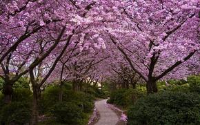 Картинка деревья, цветы, парк, Япония, сакура, аллея, цветение, кусты