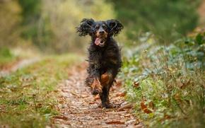 Картинка осень, трава, листья, собака, тропинка