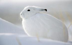 Картинка зима, белый, снег, заяц, беляк