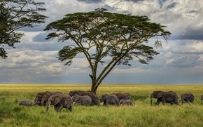 Картинка трава, дерево, саванна, слоны, стадо