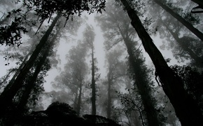 Картинка forest, trees, leaves, fog, black and white, b/w, contrast