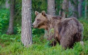 Картинка лес, медведь, топтыгин