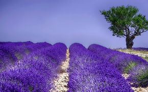 Картинка поле, лето, дерево, цветение, лаванда