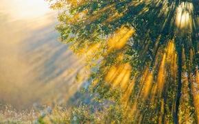 Обои лучи, свет, природа, дерево, утро