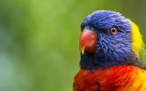 Картинка зелень, птица, голова, перья, клюв, размытость, попугай, окрас, разноцветный, многоцветный лорикет