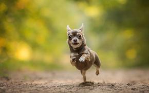 Картинка собака, бег, чихуахуа, боке, пёсик