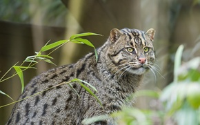 Картинка кошка, кот, ©Tambako The Jaguar, fishing cat, кот рыболов, рыболов