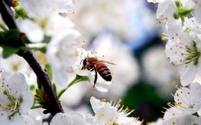 Обои цветы, красота, ветка, природа, белые, лепестки, насекомое, цветение, вишня, пчела, весна
