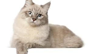 Картинка кошка, кот, белый фон