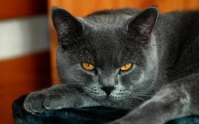 Обои кот, британский, желтые глаза, серый окрас