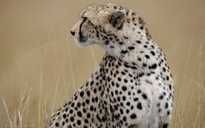 Картинка трава, морда, гепард, профиль, дикая кошка