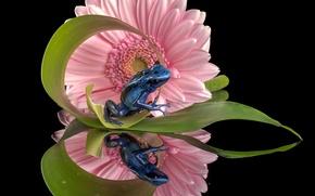 Обои цветок, отражение, лягушка, гербера, Голубой древолаз
