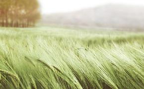 Обои пшеница, поле, лето, трава, природа, ветер, колосья, зеленая