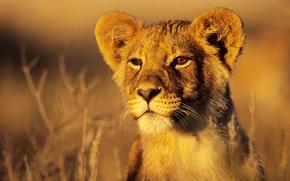 Обои животные, львенок, кошки, природа, cats, лев, саванна