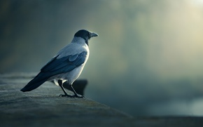 Картинка птица, ворона, смотрит