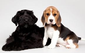 Обои бигль, щенки, малыши, пятнистый, черный
