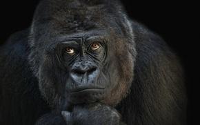 Картинка обезьяна, горилла, мыслитель