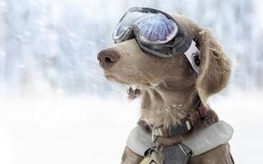 Картинка зима, снег, собака, очки, спортивные, горнолыжные
