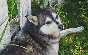 Картинка собака, село, трава, пес, волк