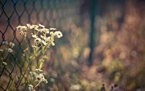Картинка цветы, забор, ромашки, боке