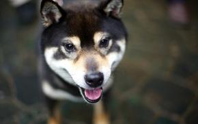 Картинка язык, взгляд, собака, dog, Shiba Inu