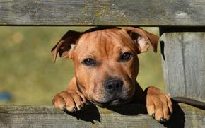 Картинка взгляд, морда, забор, собака, Стаффордширский бультерьер