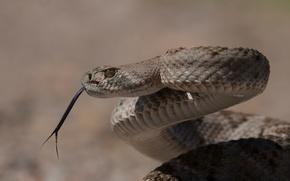 Картинка змея, ядовитая, Техасский гремучник, Western Diamondback