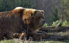 Картинка трава, отдых, медведь, мишка, бревно