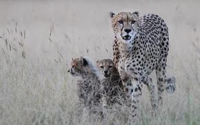 Обои чита, хищник, котята, гепард