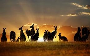Картинка animals, Australian, Kangaroos, Skippy