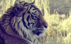 Обои взгляд, животное, макро, тигр, tiger, трава, смотрит