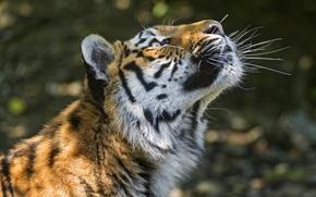 Картинка кошка, морда, тигр, тень, профиль, амурский, ©Tambako The Jaguar