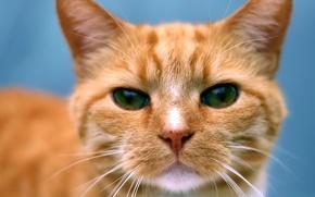 Картинка глаза, кот, усы, портрет, рыжий
