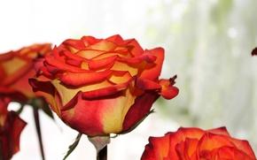 Картинка цветок, оранжевый, роза