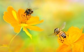Обои цветы, две, желтые, пчелы, космея