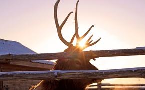 Картинка олень, рога, Животные, марал, Pyatkov_Denis