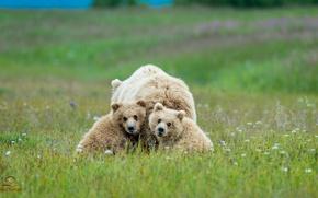 Картинка семья, медведи, медвежата