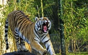 Картинка кошка, тигр, пасть, зевает, амурский