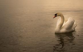 Картинка вода, природа, озеро, пруд, птица, рябь, лебедь, водоем, плавание, одинокий, соло