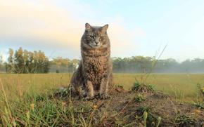 Обои кошка, взгляд, простор, поле, кот