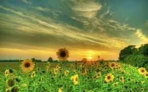 Картинка поле, лето, небо, облака, подсолнухи, закат
