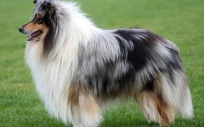 Картинка Собака, колли, шотландская овчарка