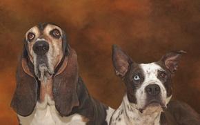 Картинка собаки, питбуль, бассет-хаунд