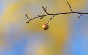 Картинка фон, яблоко, ветка