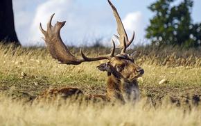 Картинка deer, sunny, lazy