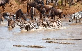 Картинка крокодил, Африка, водопой, водоём, стадо, антилопы, зебры, гну