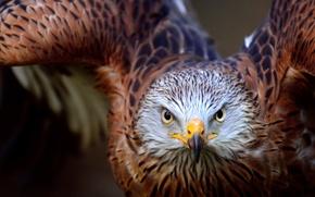Картинка взгляд, природа, орел, хищник, полёт