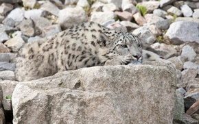 Картинка кошка, камни, отдых, ирбис, снежный барс
